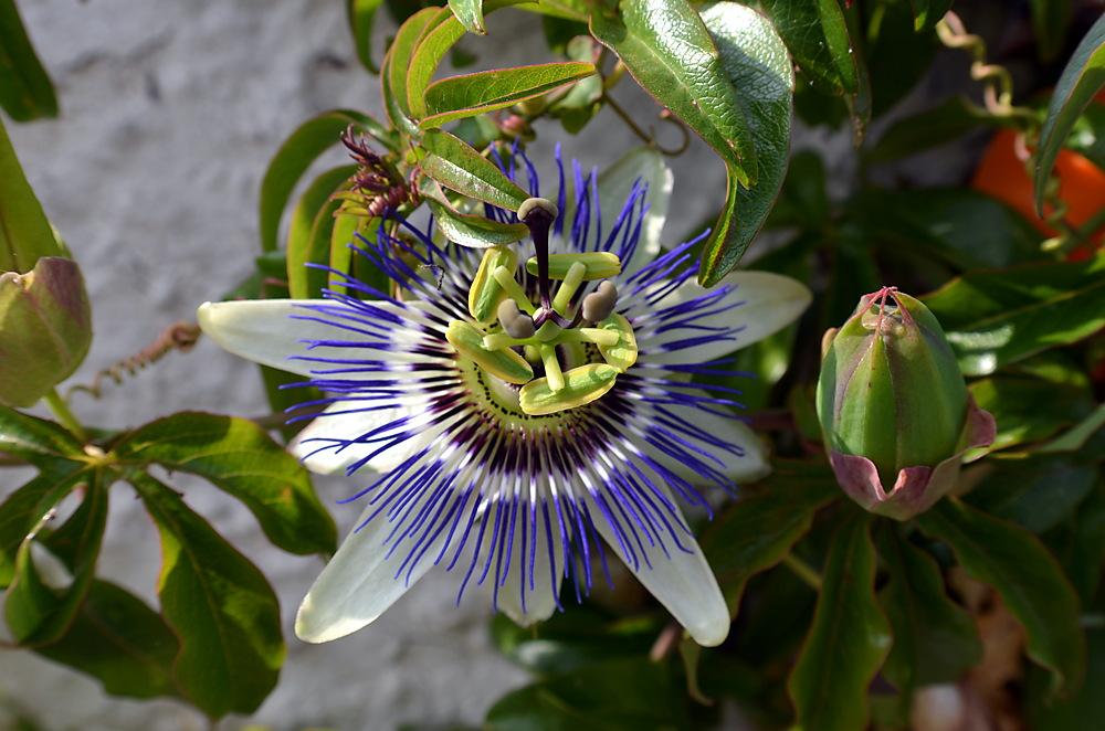photoblog image Passion Flower
